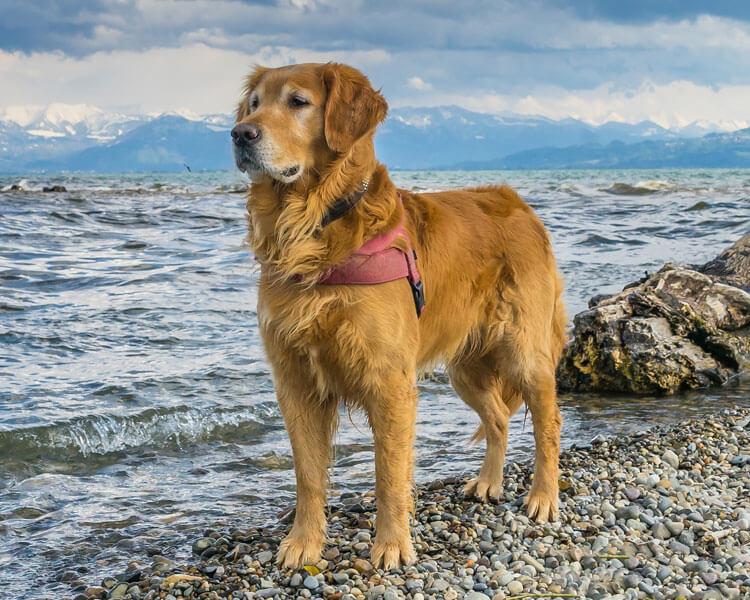 a golden retriever for dog breed review