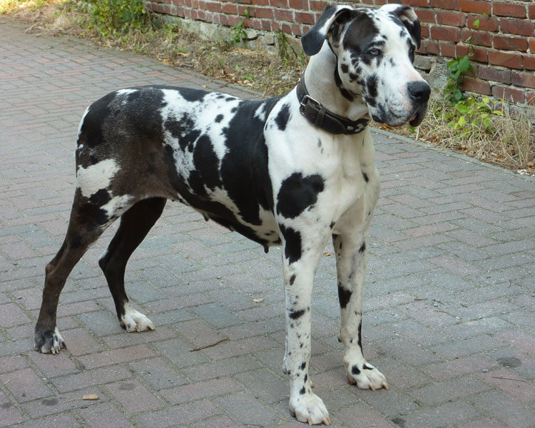 a great dane for dog breed review