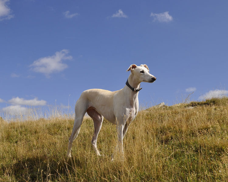 greyhound for dog breed review
