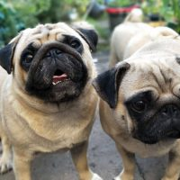 Inbreeding in Dogs