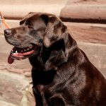 Labrador Retriever, one of the gundog breeds
