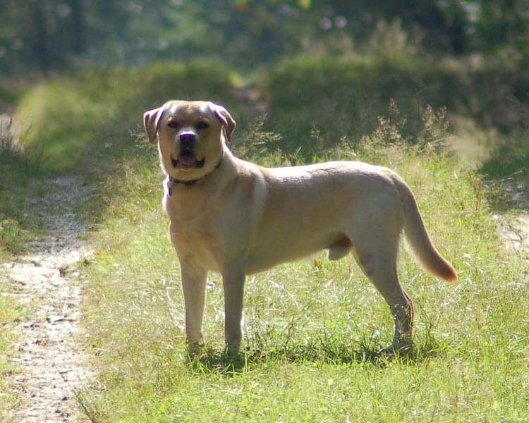 a labrador retriever for dog breed review