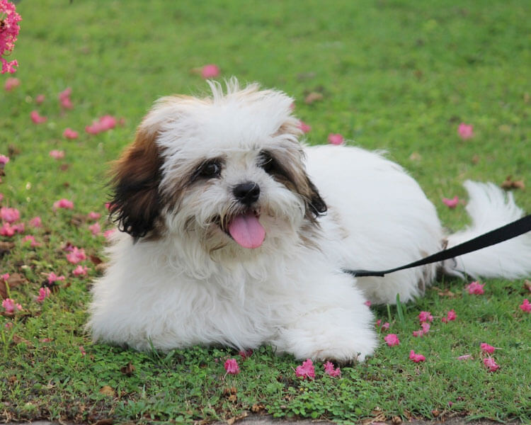 a lhasa apso for dog breed review