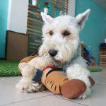 Miniature Schnauzer, one of the utility dog breeds
