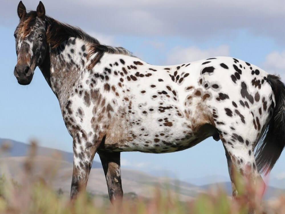 most popular horse breeds 7