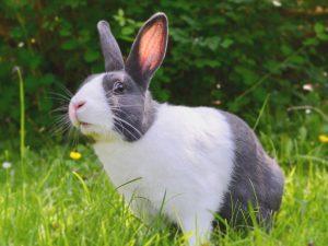 Myxomatosis in Rabbits