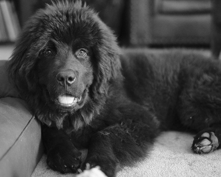 a newfoundland for dog breed review