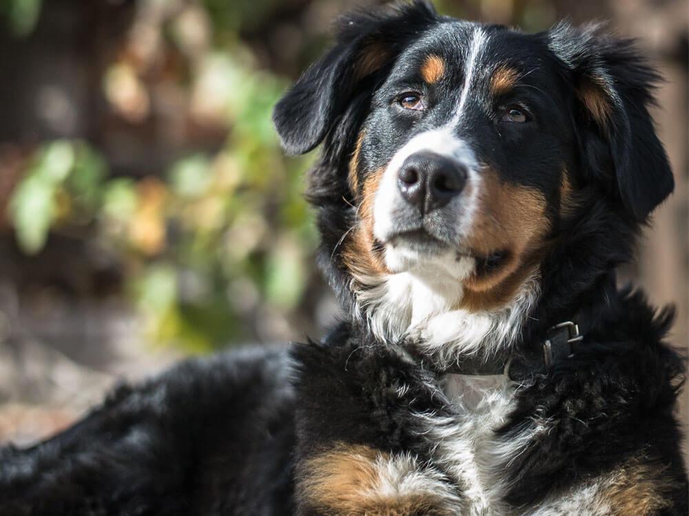osteoarthrisis in dogs