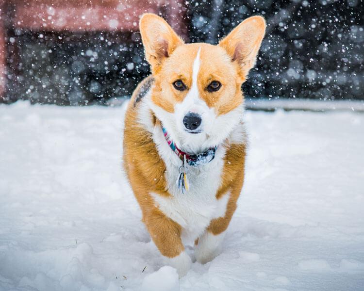 a pembroke welsh corgi for dog breed review