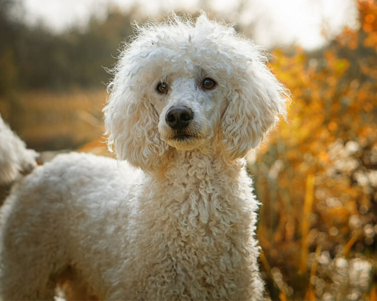 a poodle for dog breed review