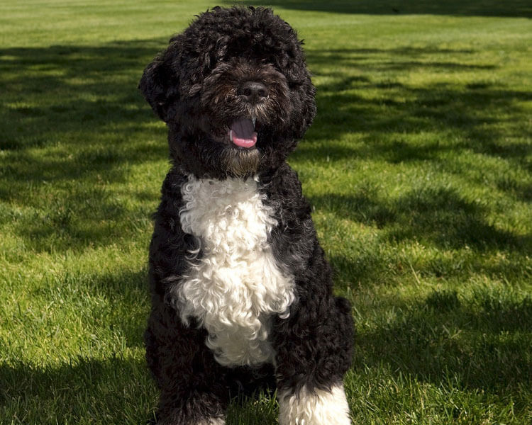 a portuguese water dog for dog breed review