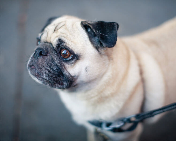 a pug for dog breed review