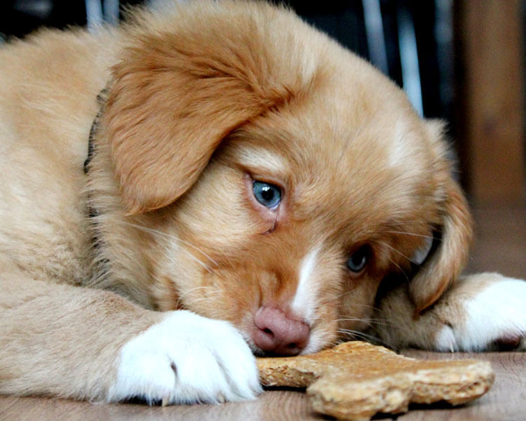 a puppy eating its treat