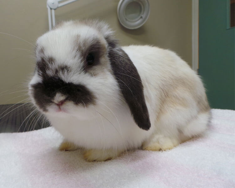 sick rabbit in vet clinic