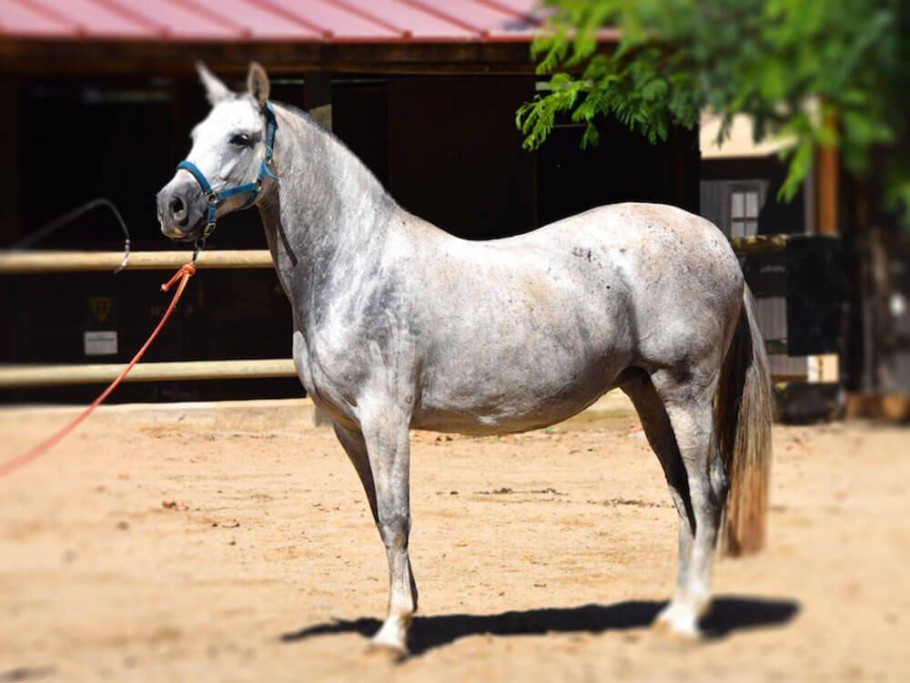 ridding horse breeds