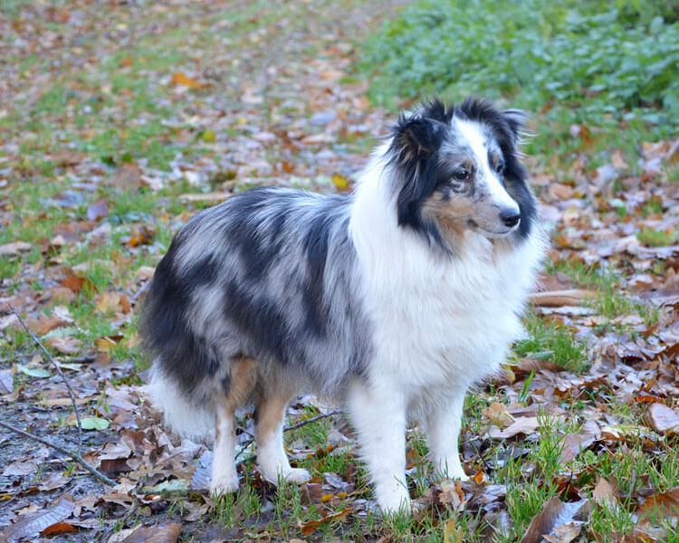 shetland sheepdog for dog breed review