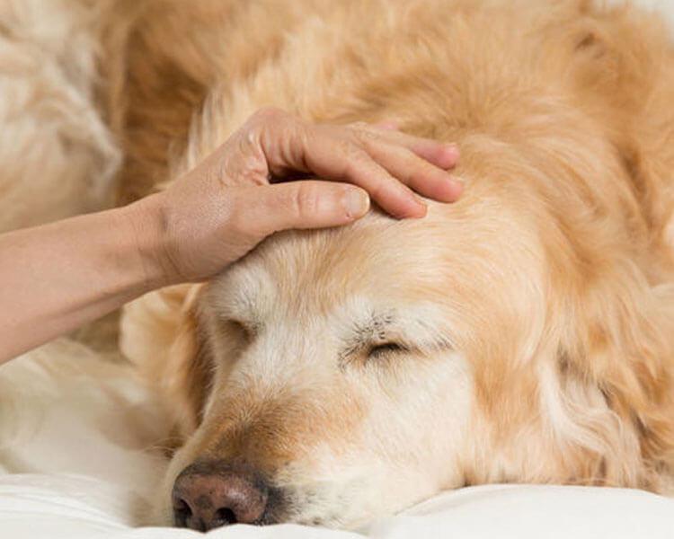 a sick dog due to a parvovirus