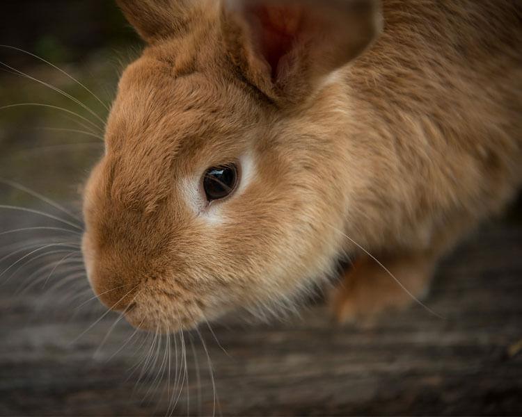 a sick rabbit having a Myxomatosis disease