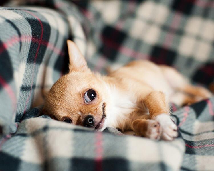 a chihuahua lying down on the sofa