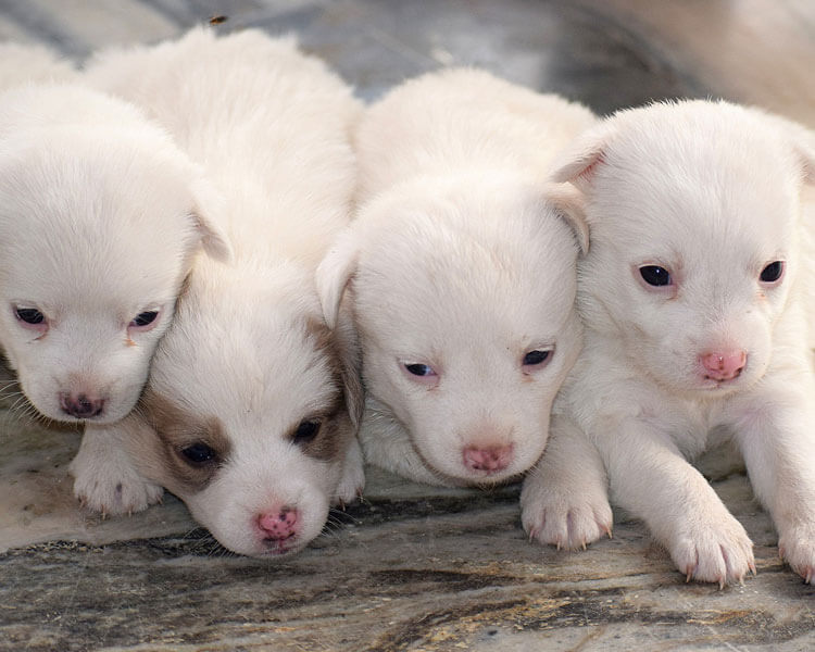 newly born white puppies lying on a floor