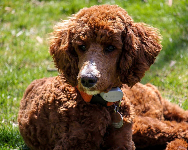 a standard poodle for dog breed review