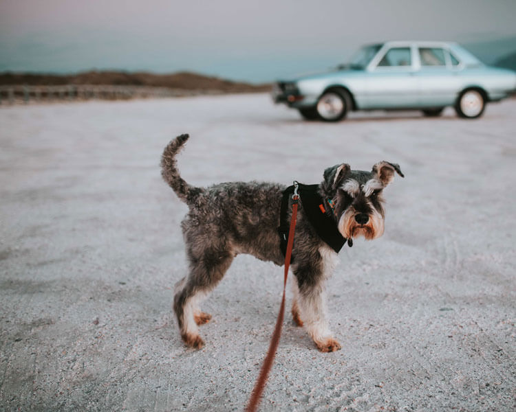 standard schnauzer for dog breed review