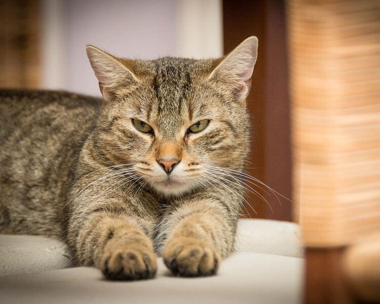 a territorial cat lying on a sofa