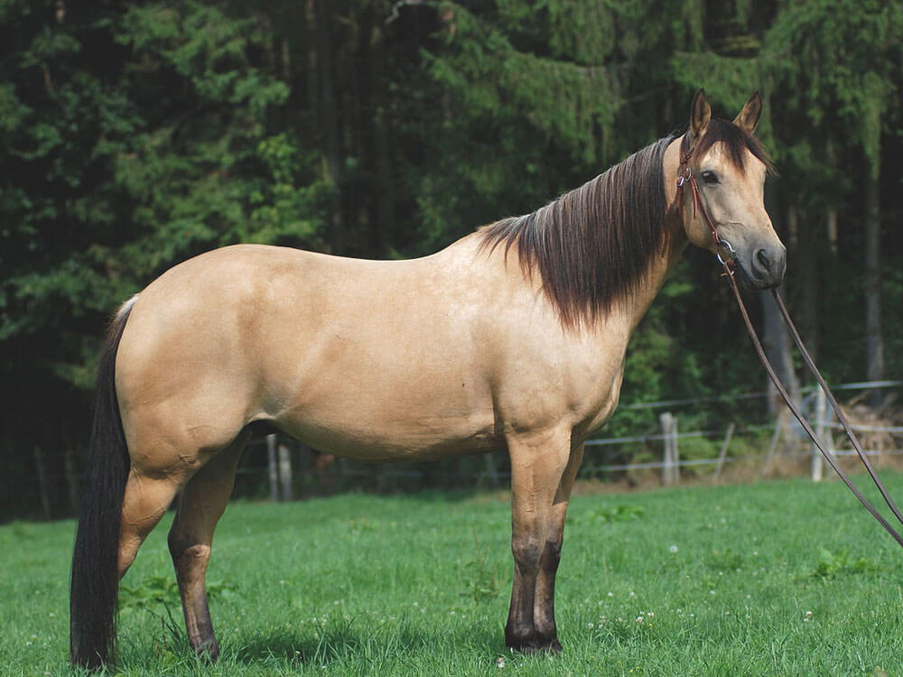 the most popular horse breeds