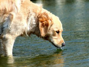 Causes of Dogs' Excessive Drinking