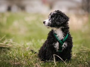 Top Tips for Training a Toy Poodle