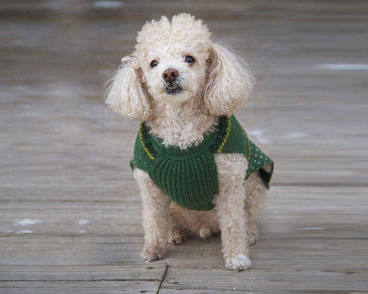 a toy poodle sitting properly after its owners command