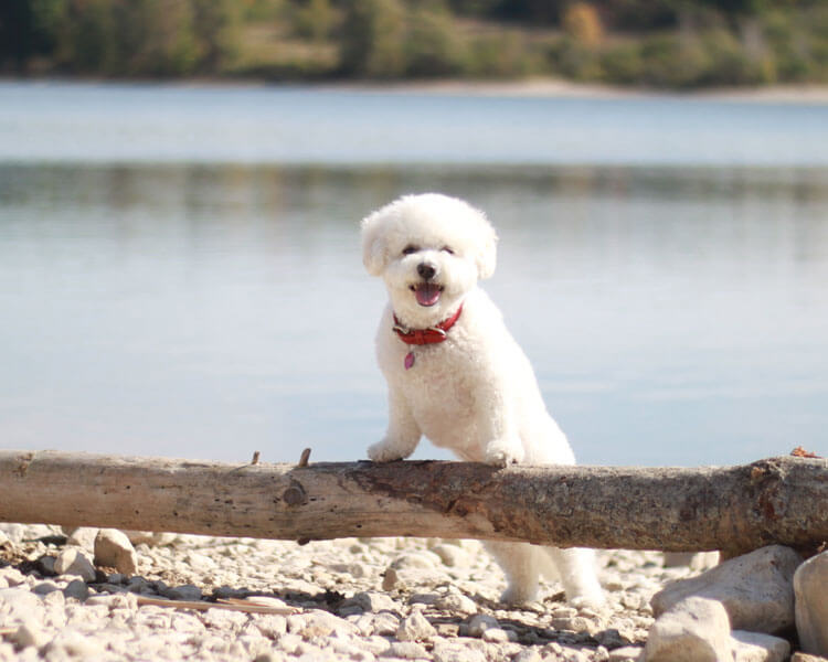 a smiling poodle leaning on a wood in the lake