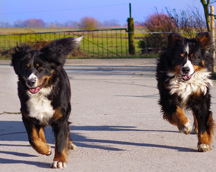 two bernese mountain dog running on the road