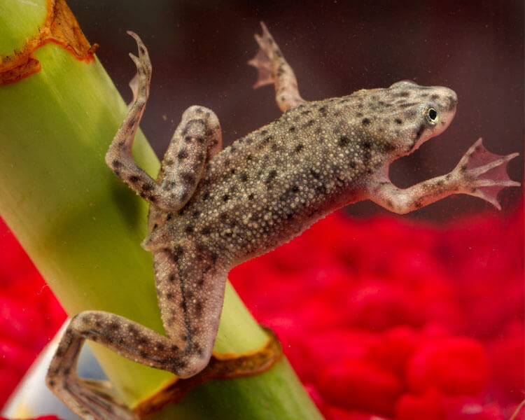 an african dwarf frog swimming
