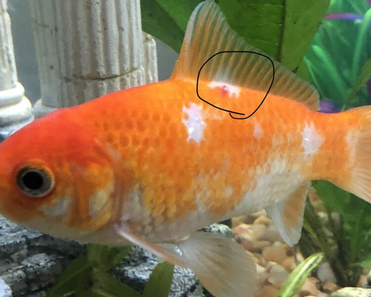 a goldfish with an anchor worm disease