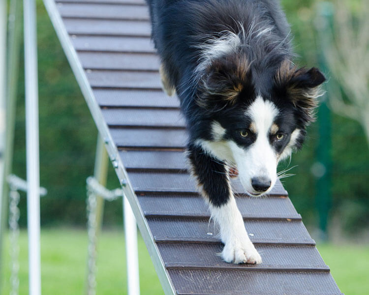 border collie agility test