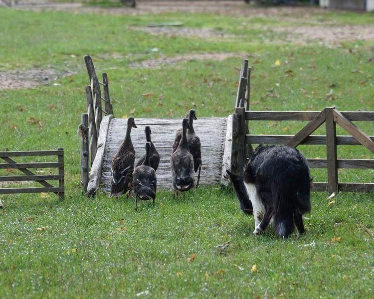 a border collie dog herding ducks