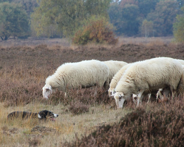 a border collie watching a flock of sheep while lying on the ground