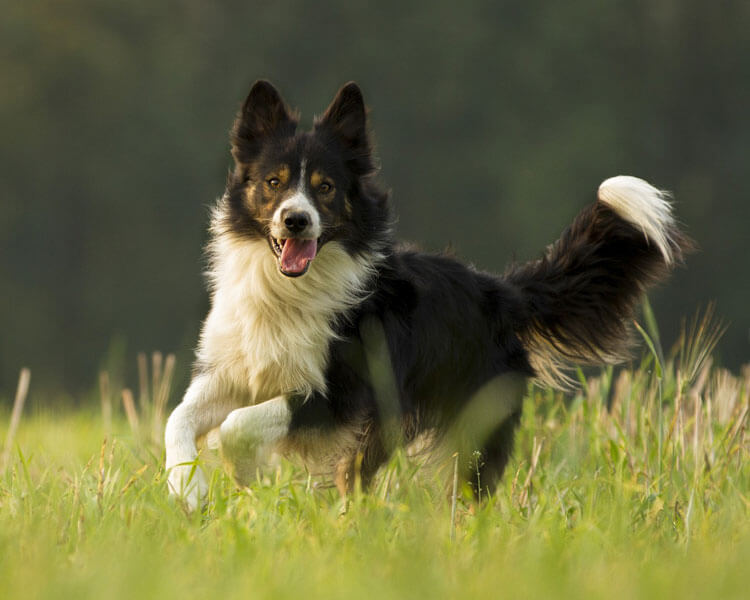 border collie, one of the most popular herding dog breed