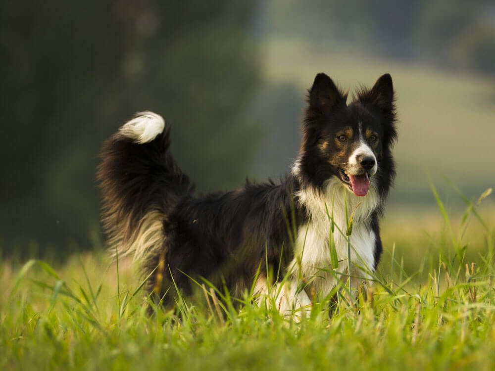 border collie, 7th place in Britain's top 100 dogs 2019