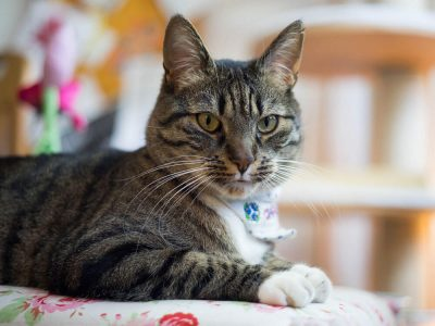 Treatment Options for Cancers in Cats