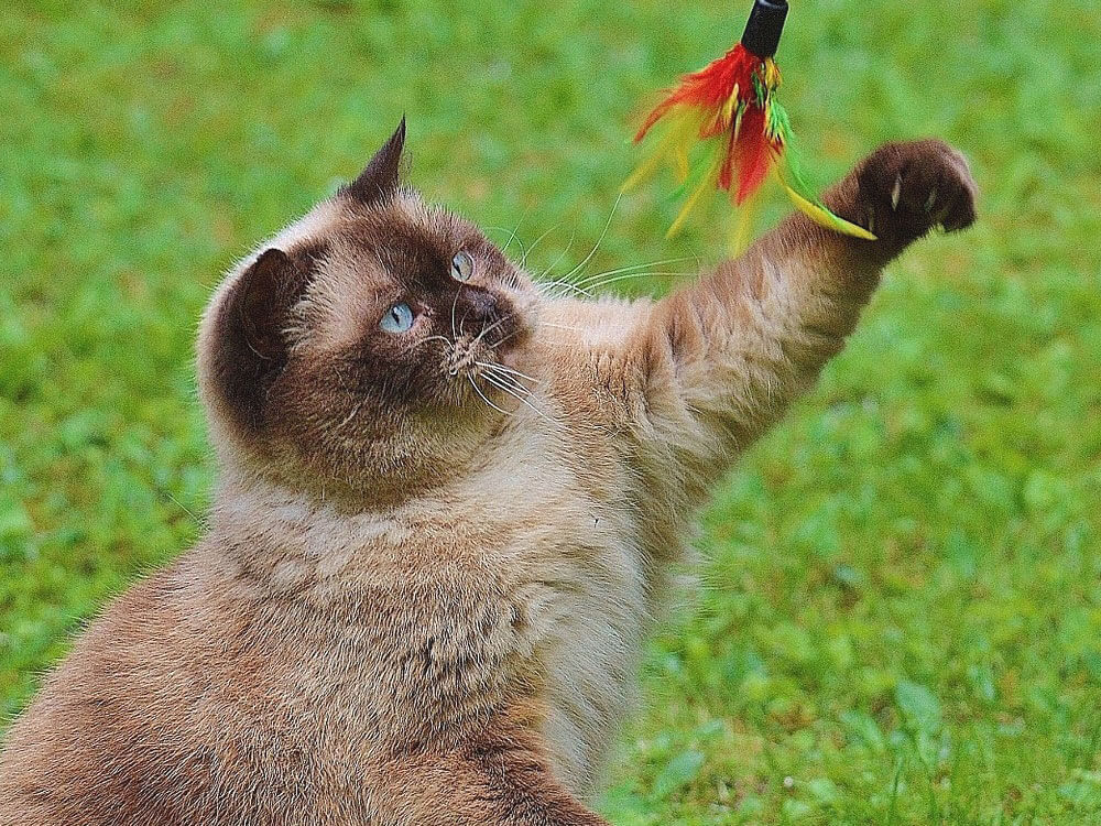 a cat playing a toy feather stick