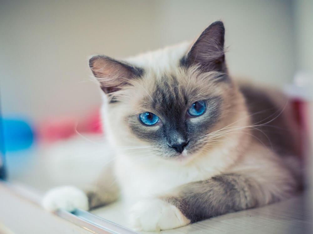 a ragdoll with a cat skin disease