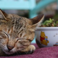 Is It Normal for Cats to Snore?