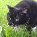 a cat vomiting in the grass field