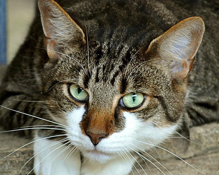 cat with cherry eye disease