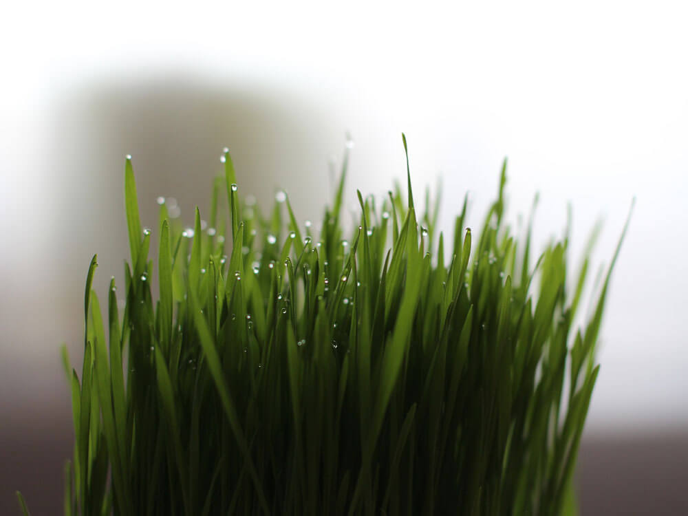 a cat grass which has a calming properties