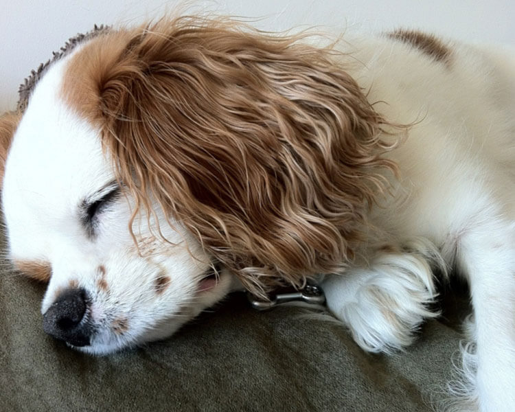 a cavalier king charles spaniel dog sleeping in bed