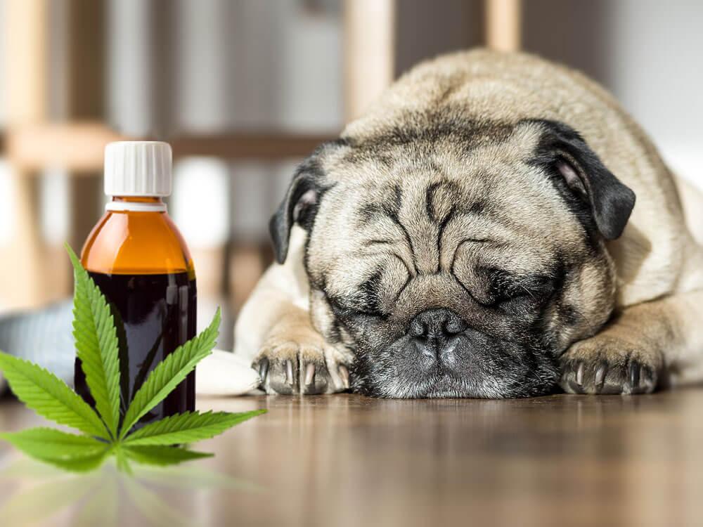 CBD (Cannabidiol) Oils Working Wonders for Pets' Health