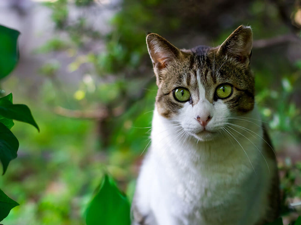 Causes and Treatments for Cherry Eye in Cats